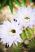 Cactus flowers (Queen of the night)