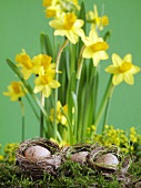 Easter decoration with narcissi and Easter nests