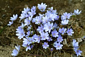 Flowering Hepatica nobilis (remedy for liver disorders)