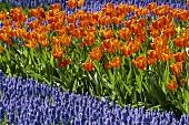 A row of tulips between grape hyacinths