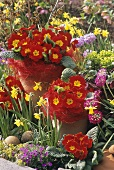 Colourful spring flowers (primulas, narcissi etc.) in garden