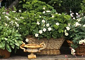 Parsley, groundcover rose and daisies in containers