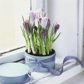Purple crocuses in a pot