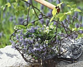Bunch of forget-me-nots & wild strawberry in iron basket