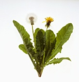 Dandelion plant with flower and seed head