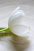 Eine weisse Tulpenblüte