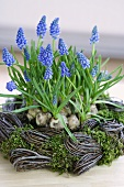 Grape hyacinths in willow wreath