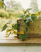 Eine Gurkenpflanze im Blumenkasten