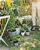 Herbs and vegetables in garden