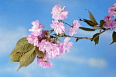 Sprig of Japanese flowering cherry