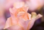 A salmon-pink rose