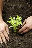 Basilikum einpflanzen