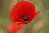 Eine Mohnblume