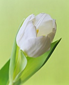 Eine weisse Tulpe