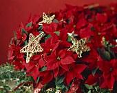 Roter Weihnachtsstern mit goldenen Sternen