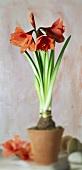 Red amaryllis in pot