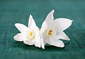 Two white narcissus flowers