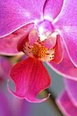 Eine rosa Orchideenblüte