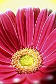 A pink gerbera