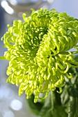 Grüne Chrysanthemenblüte der Sorte 'Anastasia Green'