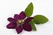 A clematis flower