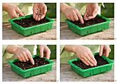 Sowing hollyhock seed in a seed tray