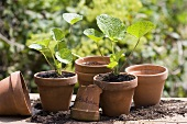Young hollyhock plants in terracotta pots