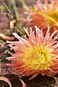 A salmon-pink semi-cactus dahlia