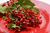 Guelder rose berries on red plate