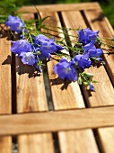 Blue campanulas on a wooden bench