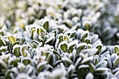 Hoar frost on a box hedge