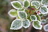 Hoar frost on rose leaves