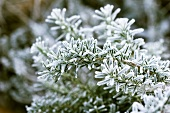 Rosemary with frost