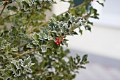 Holly with hoar frost and red berries