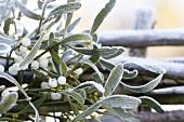 Mistelzweig mit Früchten im Winter