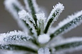 Frost on sprig of rosemary