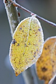 Leaf on an ornamental apple tree in winter