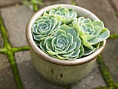 Houseleek in a flowerpot