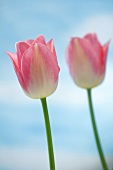 Pink tulips (variety: Dreamland)