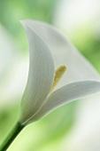 weiße Calla (Nahaufnahme)