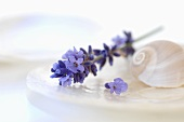 Lavender and shells