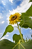 Eine Sonnenblume am Feld