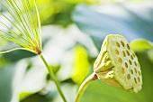 Idian lotus pod (nelumbo nucifera)