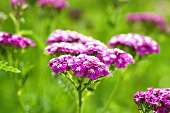 Flowering yarrow in a garden