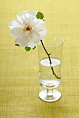 White dog rose in a glass