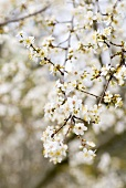 Branches of plum blossom in the open air