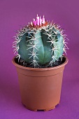 A melocactus with a flower in a flower pot