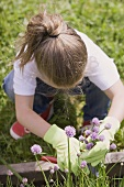 A child cutting chives in a flower bed