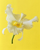 White orchid (Cattleya)