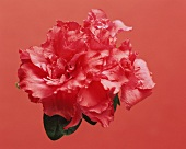 Rote Azaleenblüte